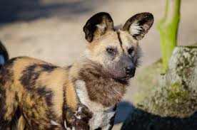 african-wild-dog-for-kids