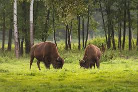 american-bison-grazing
