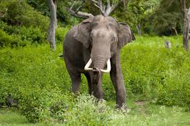 asian-elephant-facts
