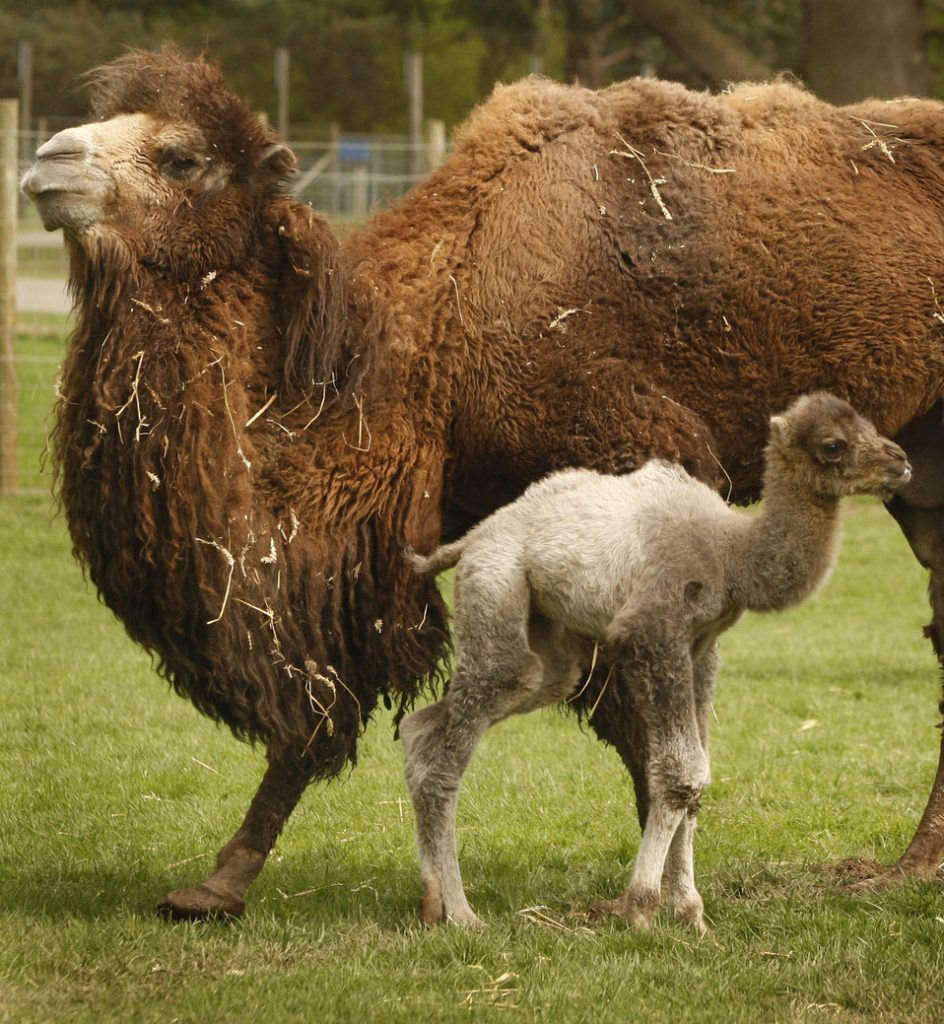 bactrian-camel-calf
