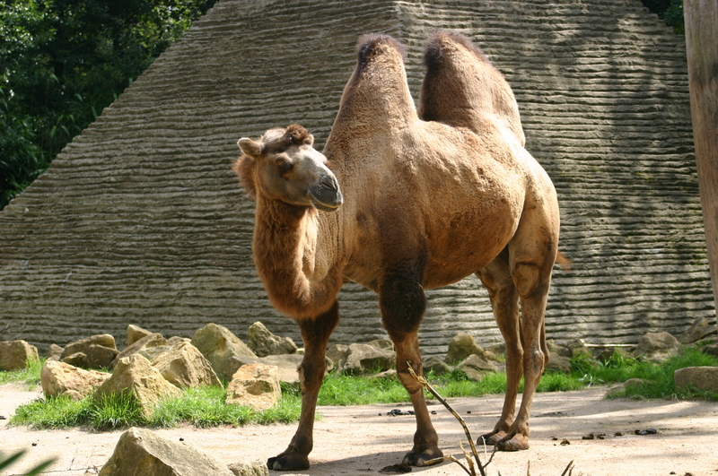 bactrian-camel-facts