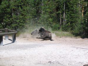 bison-dust-bath