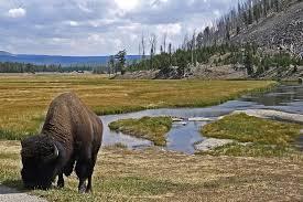 bison-eating-grass