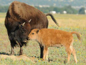 bison-mother-calf