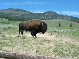 bison-national-park