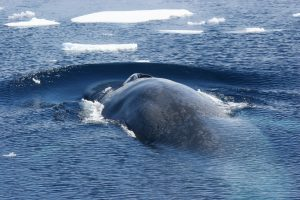 blue-whale-ice