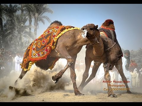 camels-fighting