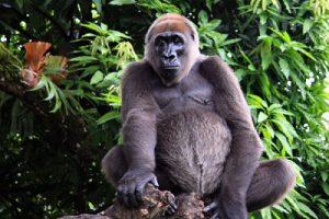 cross-river-gorilla