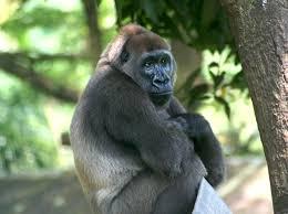 gorilla-facts