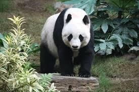 giant-panda-for-kids