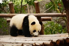 giant-pandas-solitary
