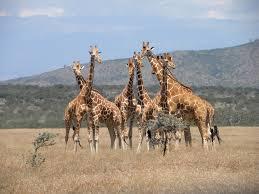 giraffe-herd