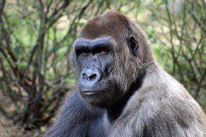gorillas-for-kids