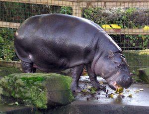 hippo-eating