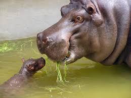 hippo-mother-calf