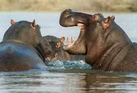 hippos-loud
