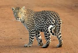 leopards-hunt-giraffes