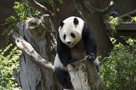 panda-climbing-tree