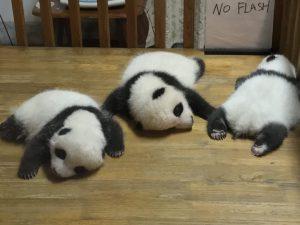panda-cubs-sleeping