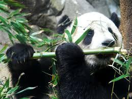 panda-eating-plant