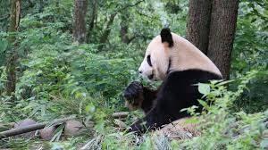 panda-mountains-china