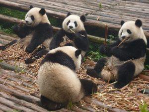 pandas-in-zoo