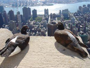 pigeon-new-york