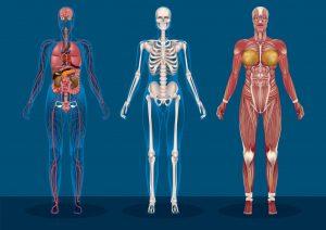 anatomy-da-vinci