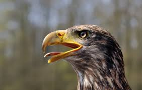 bald-eagle-chirp