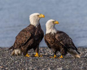 bald-eagle-ddt