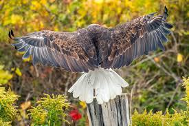 bald-eagle-facts-kids