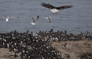 bald-eagle-flock
