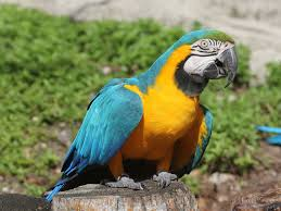 blue-yellow-macaw-facts
