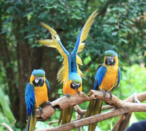 blue-yellow-macaw-group