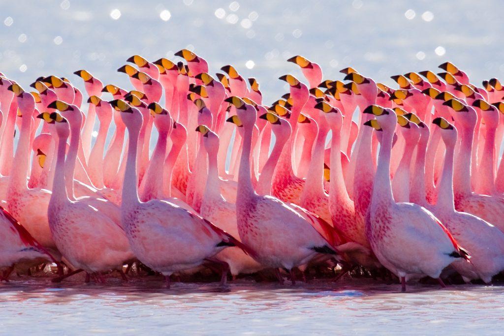 flamingo-water-birds