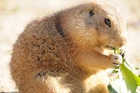 meerkat-eating-plant