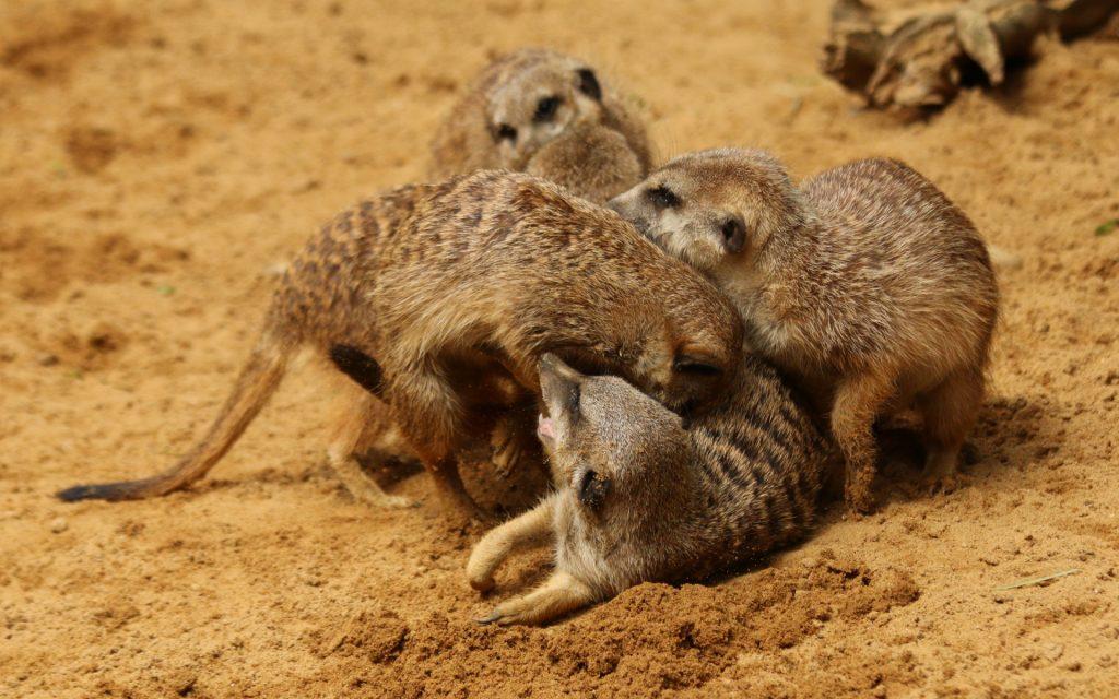 meerkats-fighting
