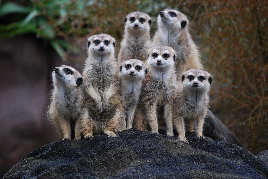 meerkats-for-kids