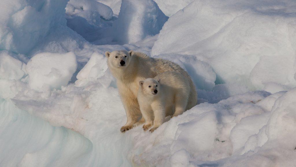 polar-bear-cub