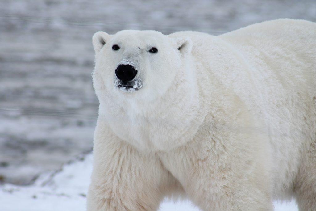polar-bears-for-kids