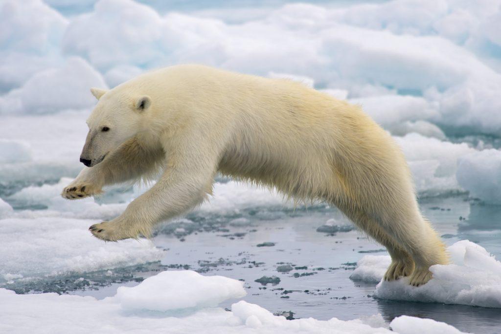 polar-bears-ice