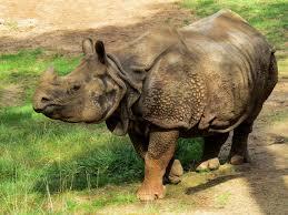 rhino-brown-skin
