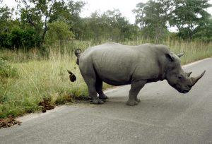 rhino-marking-territory