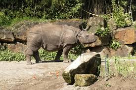 rhinos-herbivores