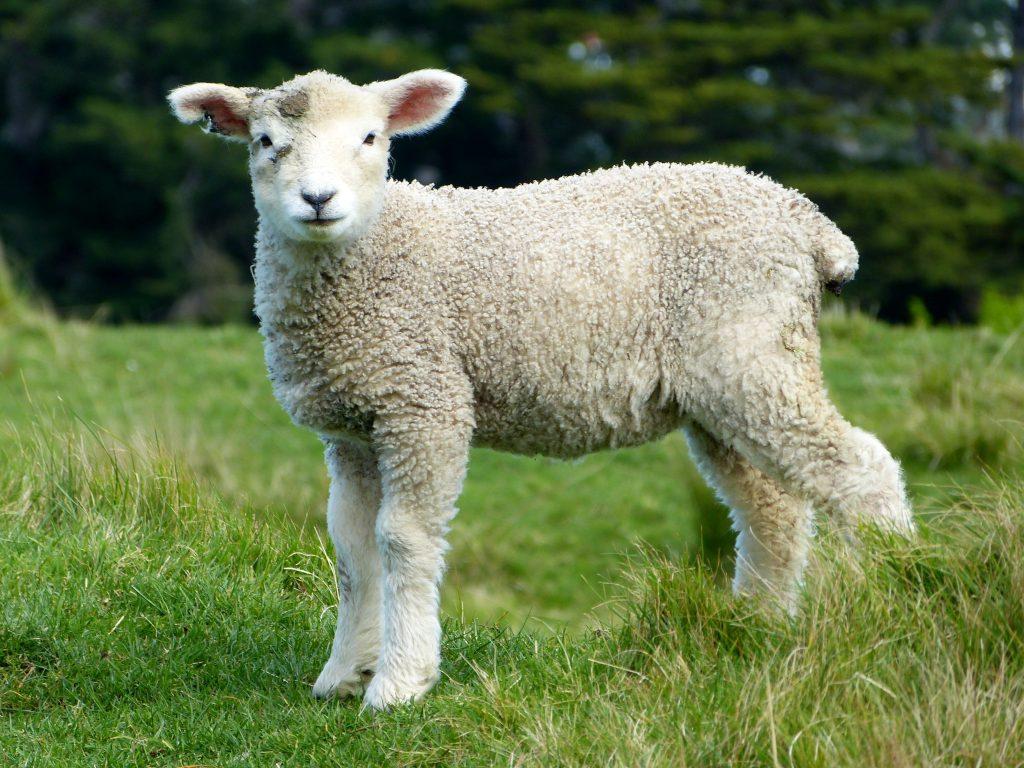 sheep-valuable-wool