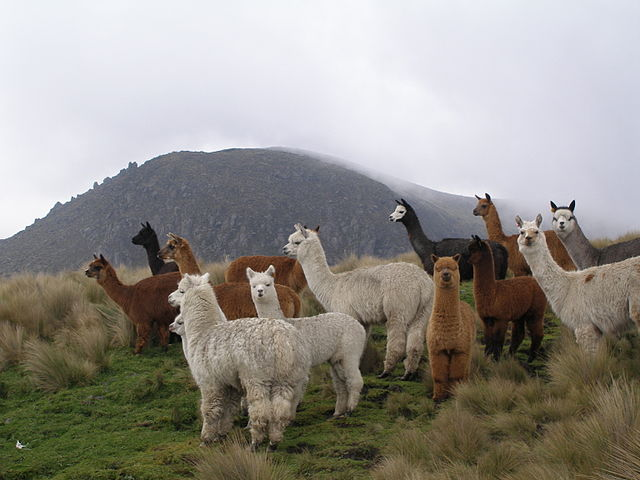 Alpaca Group