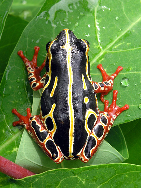 Amphibian frog