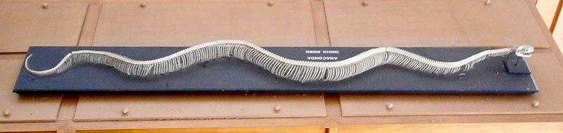 Anaconda Skeleton for Study