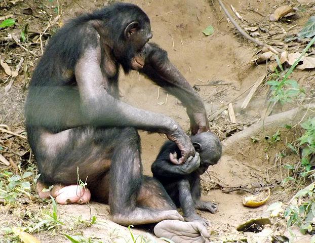 Bonobo with Infant