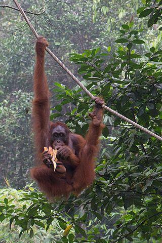 Bornean Orangutan Eating